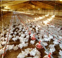 Poultry CRC broilers