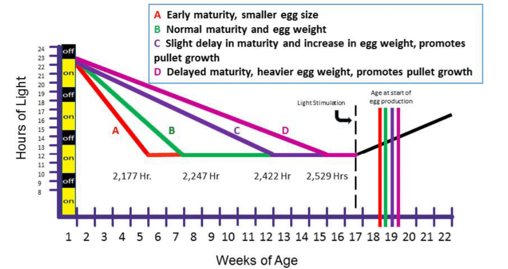 Optimising egg size in commercial layers | The Poultry Site