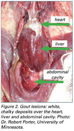 Avian Urolithiasis Visceral Gout An Overview The Poultry Site