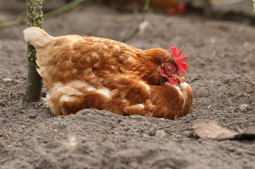 How to Reduce Negative Effects of Noise on Chickens | The