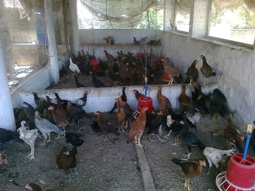 poultry farm India RVC