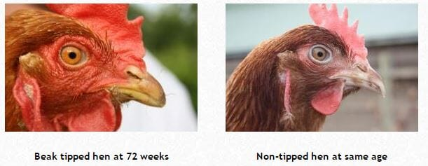 nfu, beak tipping