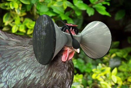 a chicken wearing a virtual reality device on its head