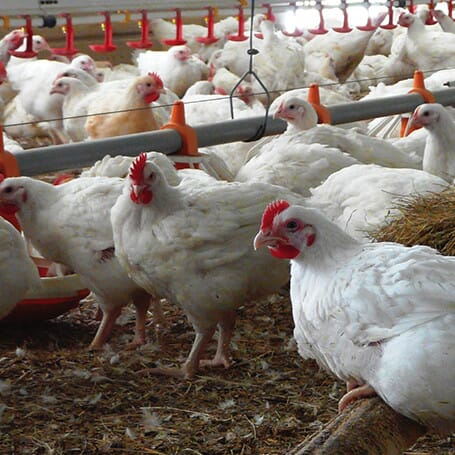 Broiler Focus for Healthy Birds - Cobb