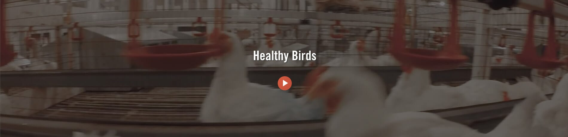 Healthy Birds - Cobb