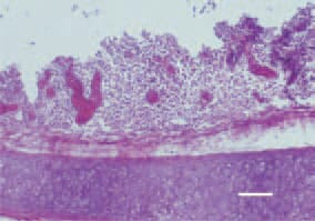 Fig. 1. Transverse cross-section, trachea. A severe inflammatory cell infiltration, resulting in thickened and more dense mucosa. H/E, Bar = 70 µm.