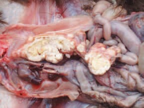 Salpingitis. An element of Fig. 10. Longitudinal cross section of the oviduct.