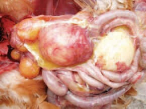 (inflamation of the ovary) consequently to a salpingitis due to ascendant E. coli infection.