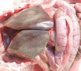 Acute E. coli septicaemia in layer hens. Clinically and morphologically, the acute E. coli septicaemia could resemble fowl cholera or fowl typhoid. It is encountered in both young and sexually mature birds. The stress in the beginning of egg-laying is considered as an important predisposing factor. The parenchymal organs are enlarged and hyperaemic. Sometimes, the liver has a greenish colour and is mottled with multiple small necrotic foci. Also, pericarditis, peritonitis and petechial haemorrhages on serous coats are present.