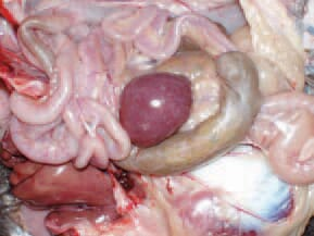 . A typical finding for spiro-chaetosis is the enlarged spleen with marble-like appearance. A. persicus remains infective for over 430 days and transmit spiro-chaetes to its progeny. Spirochaetes could be identified in Giemsa-stained blood smears. In the late stage of the disease, spirochaetes could not be detected.
