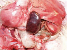 The spleen of infected birds is typically enlarged, haemorrhagic, crumbly, motted or marble-like. The aetiological agent of HE is an adenovirus of group (type) II (HEV). The viruses or marble spleen disease in pheasants (MSDV) and avian adenvirus splenimegaly (AAS) that are serglogically similar, beling to the same group.