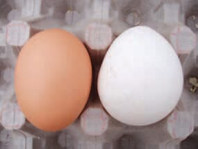 209.210.211</strong>The egg drop syndrome - 1976 (EDS 76) is an infectious disease in layer hens manifested by a quick drop in egg production, failure to reach peak production, irregularly shaped eggs, soft-shelled or shell-less eggs and depigmentation. The aetiological agent is an adenovirus of group III. The horizontal transmission occurs slowly in battery systems and rapidly in floor housing systems. The first sign is the loss of egg pigmentation, rapidly followed by the appearance of soft-shelled, shell-less of deformed-shell eggs. If defective eggs are discarded, the remaining ones have no problem with fertilization and hatching. The drop could be sudden or prolonged. Usually, it lasts for 4-10 weeks and the egg production is reduced by about 40%. Apart the inactive ovaries and oviduct atrophy, other lesions are not discovered. The replication of the virus in epithelial cells of oviduct glands results in severe inflammatory and dystrophic changes in the mucous coat. The appearance of eggs with impaired quality and the dropped egg production are suggestive for EDS 76. The diagnosis is supported by some serological studies and is confirmed after isolation and identification of the virus. In many instances, no antibodies are detected in infected flocks until egg production approaches levels between 50% and peak production.