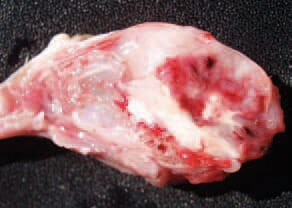 It is possible, although more rarely, to observe massive haemorrhages and sometimes, haematomas in the cerebellum. As an exception, brain lesions could also be present. The vitamin E deficiency is usually manifested in young birds -chickens, turkey poults, ducklings, pheasant poults etc. Most outbreaks are related to high levels of polyunsaturated fat in the diet (meat and bone meal, fish meal etc.) or rancid fat content.
