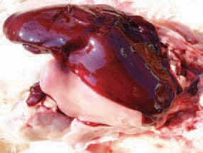 FATTY LIVER HAEMORRHAGIC SYNDROME - Diseases of Poultry