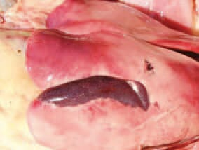Subcapsular parenchymal haematomas are possible.