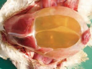 The pleuroperitoneal cavity of affected chickens is filled with straw-yellow fluid. The rapid growth in contemporary broilers is related to higher needs for oxygen, and the lung remains relatively small vs body dimensions