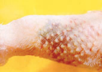 In acute lesions, haemorrhages are visible through the skin. In older lesions, a blue-greenish discoloration is present whereas in chronic lesions, very hard masses as abnormal subcutaneous tissue are palpated.