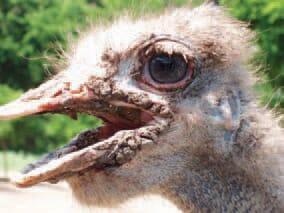 A local form of hyperkeratosis in an ostrich. Increased amount of keratin in the horny tissues - down, feathers and beak - is present, resulting in their coarse appearance. The state is linked to impaired metabolism of sulfur-containing amino acids, vitamin A deficiency etc.