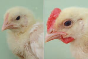 Hyperandrogenism in broilers is a condition, manifested with marked signs of masculinization in chickens from both genders. The first signs could start very early after the age of 10-12 days. A very noticeable reddening of the comb and wattles, coarse feathering of the face, strong growth of nails and a highly aggressive behaviour in about 100% of birds are observed.