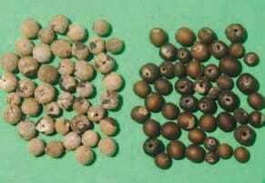 The seeds (fruit) are dry, round or kidney-shaped, with smooth, corrugated or granular surface, sometimes covered with hooked prickles, brown or grey colour and are notched on one side . On the left - seeds with coat, on the right without coat.