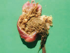 The gizzard impaction could results in high mortality in turkey poults during the first three weeks of life. Affected turkey poults are dehydrated, with empty gut, but the gizzard is filled with hard fibrous masses.