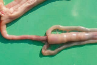 . INVAGINATION. Involvement of anterior parts of the small intestine, the mesentery and the tops of the caecum into the ileum. Usually, it occurs with a strong intestinal peristalsis, often following ingestion of feed after a restrictive feeding regimen.