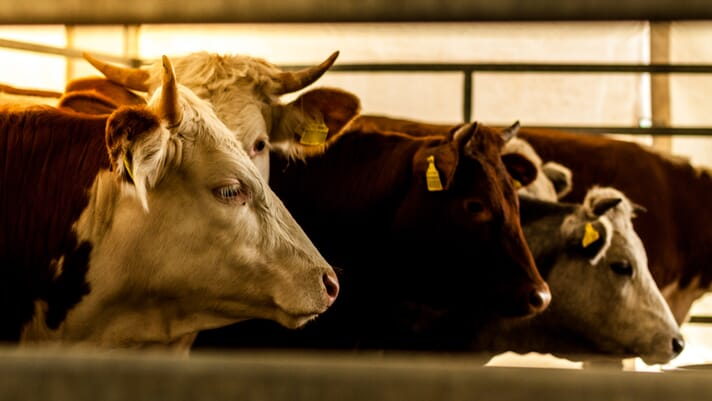 Lameness and cattle standards thumbnail image