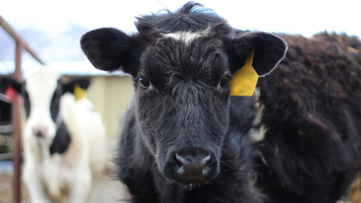 Encouraging the use of pain relief in cattle thumbnail image