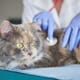 Diagnosing and treating feline demodicosis thumbnail image
