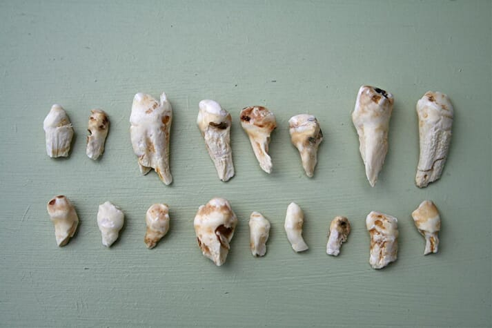 A collection of wolf teeth
