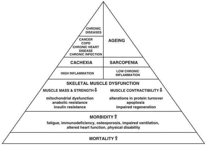 FIGURE 1 The pyramid of sarcopenia and cachexia (Argilés et al., 2015) shows that both involve skeletal muscle dysfunction and a reduction in muscle mass which contributes to increased morbidity and mortality