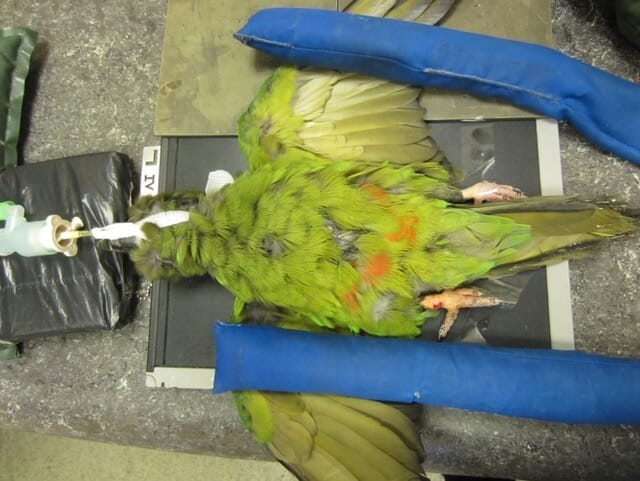 FIGURE (2) A Severe Macaw positioned for a ventrodorsal radiographic view