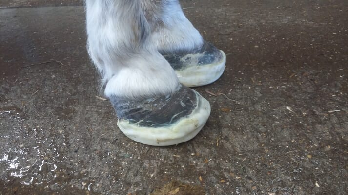 FIGURE (4) A 16-year-old Shetland pony mare with acute laminitis