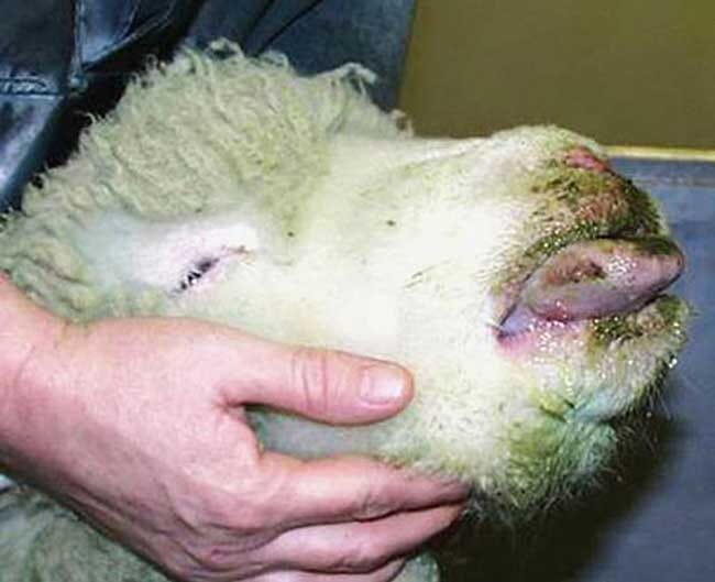 FIGURE (1) As the name suggests, sheep with bluetongue can present with swollen, blue tongues