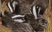 """FIGURE (7) This """"release group"""" of badger cubs, at around 14 weeks old, was awaiting a second bTB test thumbnail"""