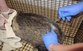 FIGURE (8) Badger cubs and adults are BCG vaccinated prior to release  thumbnail