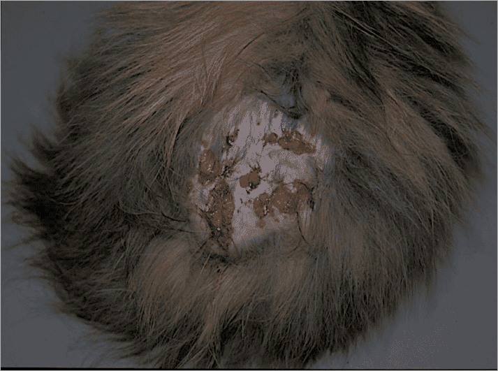 FIGURE 1 Swelling with draining sinuses in the gluteal region of a four-year-old Persian male cat. The cat had not previously responded to a long course of cephalexin before diagnosis
