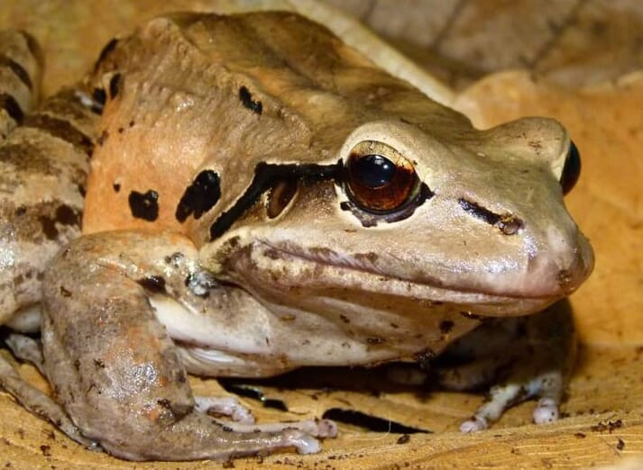 A conservation project is underway to save Montserrat's mountain chicken frog from extinction