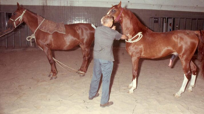 """In """"natural cover"""" systems, the stallion is led towards the mare, usually with minimal teasing or interaction allowed"""