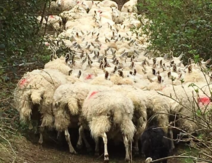 FIGURE 4 Which of these ewes has maedi visna? This flock recently tested 60 percent positive on a cull ewe screen